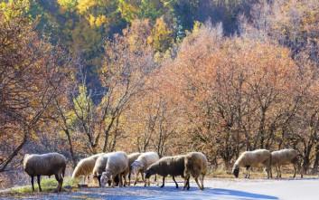 Άφαντοι οι δράστες που έσφαξαν δεκάδες πρόβατα στην Κρήτη