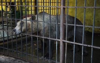Απελευθερώθηκε η πιο «θλιμμένη αρκούδα του κόσμου»
