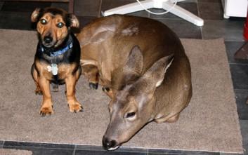 Το ελάφι που νομίζει ότι είναι σκύλος