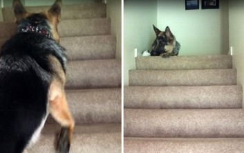 Γερμανικός ποιμενικός ανεβάζει μικροσκοπικό γατί στις σκάλες