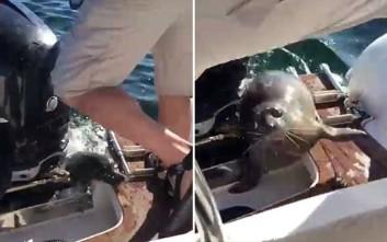 Φώκια σκαρφαλώνει σε σκάφος για να γλιτώσει από φάλαινες