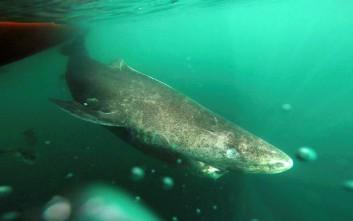 «Μαθουσάλες» αποδεικνύονται οι καρχαρίες της Γροιλανδίας