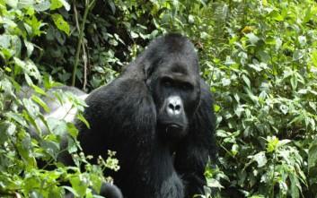 Ουγκάντα: Σκοτώθηκαν από κεραυνό τέσσερις ορεινοί γορίλες
