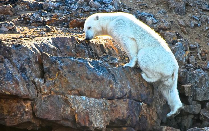 Η σοκαριστική φωτογραφία με πολική αρκούδα να σκαρφαλώνει σε βράχια χωρίς πάγο