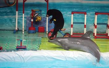 Η θλιβερή ζωή των δελφινιών στα τσίρκο της Ινδονησίας