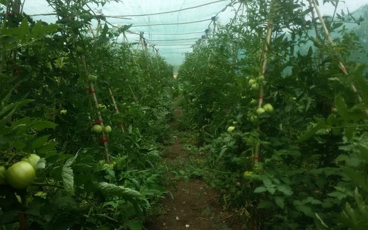 kassaveteia_tomates