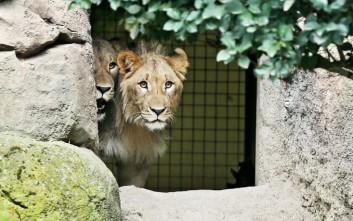 Λιοντάρι σκότωσε τον φροντιστή του