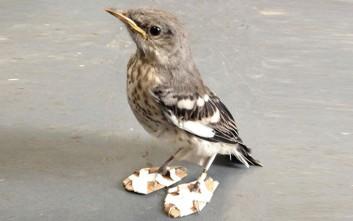 Το πουλί με τα «παγοπέδιλα» και η ιστορία του