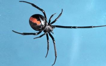 Δηλητηριώδης αράχνη δάγκωσε άνδρα στο πέος για δεύτερη φορά