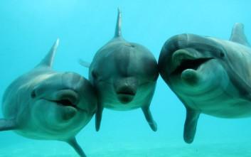 Δελφίνια και φάλαινες δημιουργούν «ανθρώπινες» κοινωνίες λόγω μεγάλου εγκεφάλου