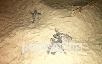 Πενήντα χελωνάκια πήραν το δρόμο προς τη θάλασσα στην Ηλεία