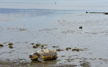 Δέκα αποκεφαλισμένες θαλάσσιες χελώνες έχουν βρεθεί στη Νάξο