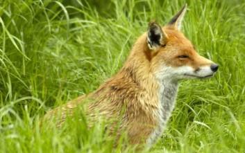 Κανένα κρούσμα λύσσας σε κόκκινη αλεπού στην Ελλάδα
