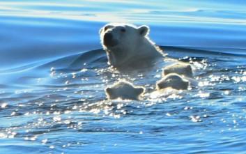 Ύστατο ταξίδι επιβίωσης για οικογένεια πολικών αρκούδων