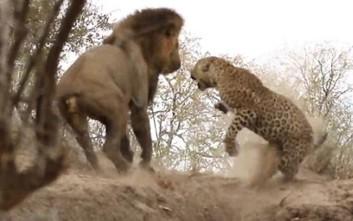 Λιοντάρι επιτίθεται σε κοιμισμένη λεοπάρδαλη