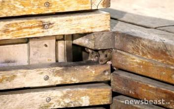 Συγκλονιστικές εικόνες με ποντίκια να κάνουν κατάληψη κάθε βράδυ στην πλατεία στο Μοναστηράκι