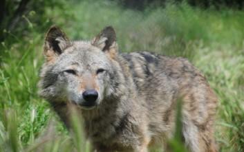 Τροχαίο με θύμα νεαρή λύκαινα στην Καστοριά