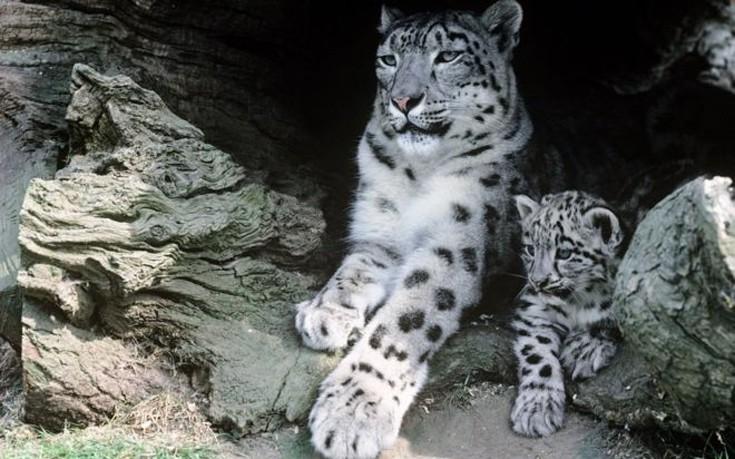 snowleopards1