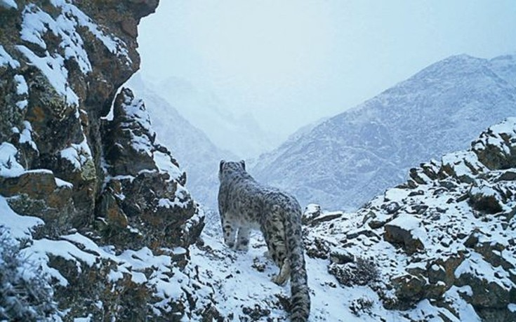 snowleopards2