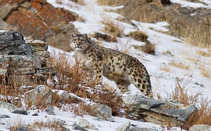 snowleopards4