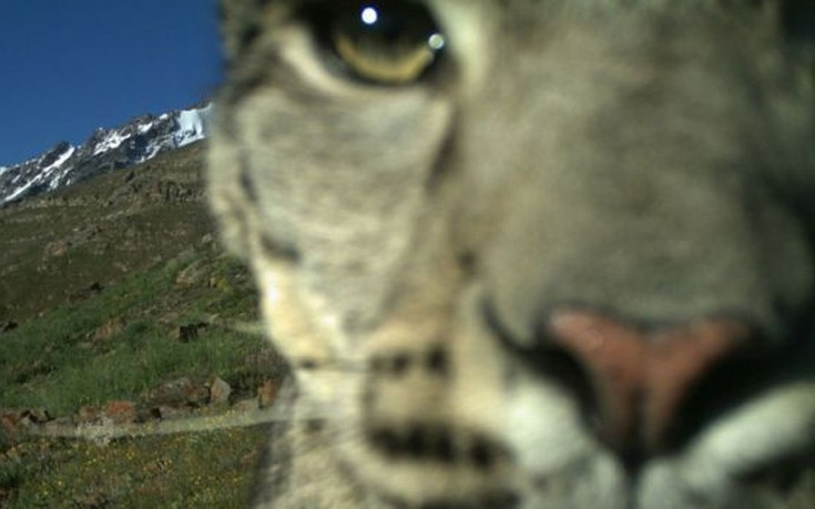 snowleopards6