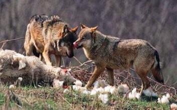 «Λύκοι αφανίζουν τα κοπάδια μας στην Ορεινή Τριχωνίδα»
