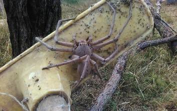 Τεράστια αράχνη «κυνηγός» τρομάζει τα social media