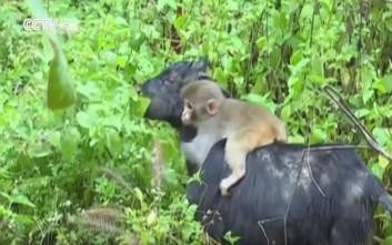 Η κατσίκα ως μέσο μεταφοράς για μια… μαϊμού