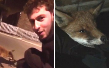 Η αλεπού που έψαχνε απεγνωσμένα παρέα
