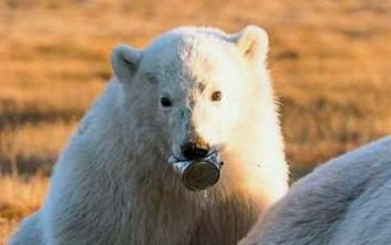 Πολικό αρκουδάκι με σφηνωμένη κονσέρβα στη μουσούδα