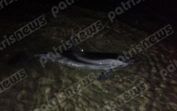 Συγκινητική προσπάθεια διάσωσης δελφινιού στον Πύργο