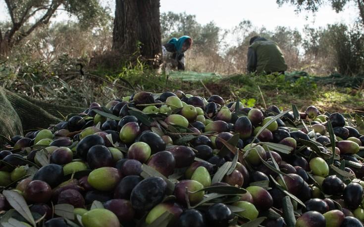 Το μάζεμα της ελιάς, μια παράδοση αιώνων