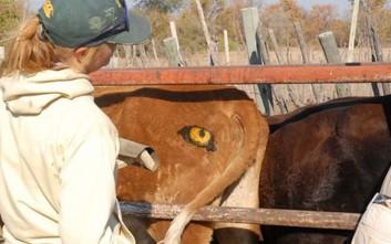 Επιστήμονες ζωγραφίζουν μάτια στους πισινούς των αγελάδων