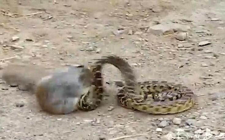 φίδι σκίουρος
