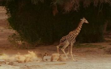 Μάχη καμηλοπάρδαλης-λέαινας με απρόβλεπτο νικητή