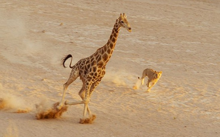 μάχη λέαινα καμηλοπάρδαλη