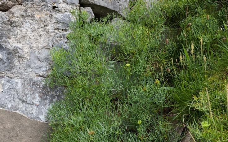 Το πολύτιμο βότανο που απασχολεί τη σύγχρονη επιστημονική έρευνα