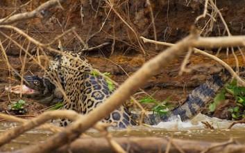 Επική μάχη ανάμεσα σε ιαγουάρο και αλιγάτορα