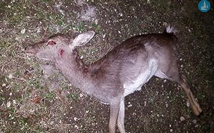 Με πυροβόλο όπλο έχουν θανατωθεί τα ελάφια στην περιοχή του Άνω Καλαμώνα
