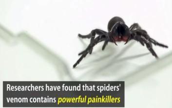 Τα ισχυρά παυσίπονα από το δηλητήριο της αράχνης