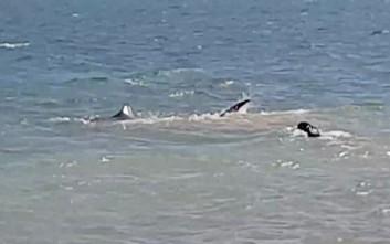 Σκύλος βουτάει στο νερό και κυνηγάει καρχαρία