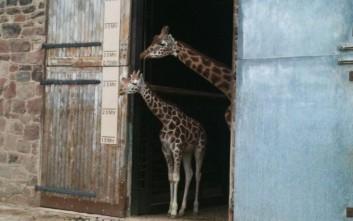 Γεννητούρια στο ζωολογικό πάρκο του Τσέστερ