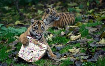Δώρα για μικρά τιγράκια στη Μεγάλη Βρετανία