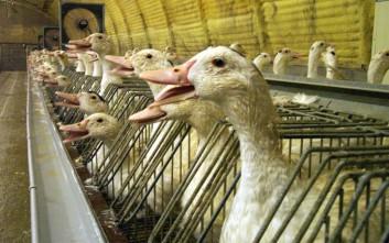 Χιλιάδες πάπιες και χήνες «θυσιάζονται» στη Γαλλία για να περιοριστεί η γρίπη των πτηνών