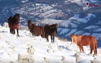Τα άγρια άλογα στις χιονισμένες βουνοκορφές της Πρέβεζας