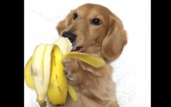 Απολαμβάνει τη μπανάνα του σαν… κύριος
