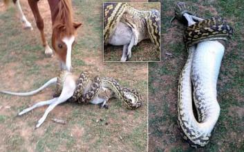 Το γεύμα ενός πύθωνα με αυτόπτη μάρτυρα ένα άλογο