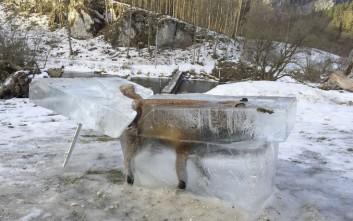 Η αλεπού που βρέθηκε εγκλωβισμένη μέσα στον πάγο