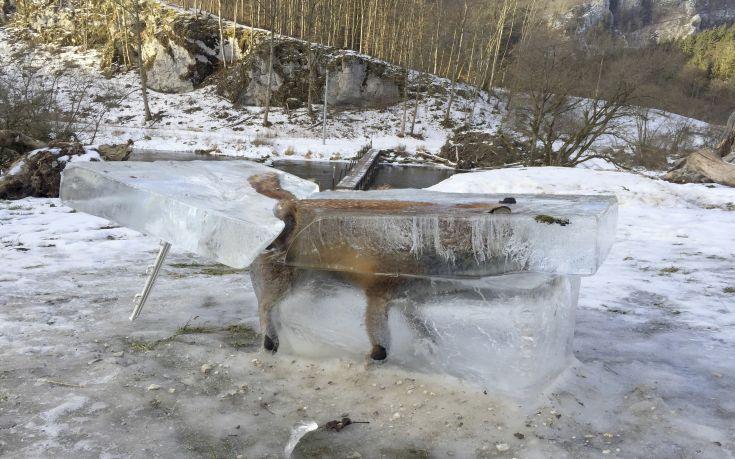 Αλεπού πάγωσε ζωντανή πέφτοντας σε ποτάμι
