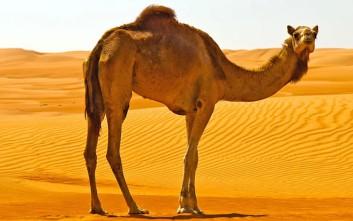 Αυστραλία: Θα σκοτώσουν πάνω από 10.000 καμήλες γιατί πίνουν πολύ νερό